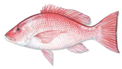 red-snapper-2